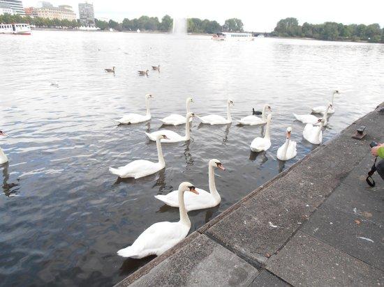 Alsterseen: Swans