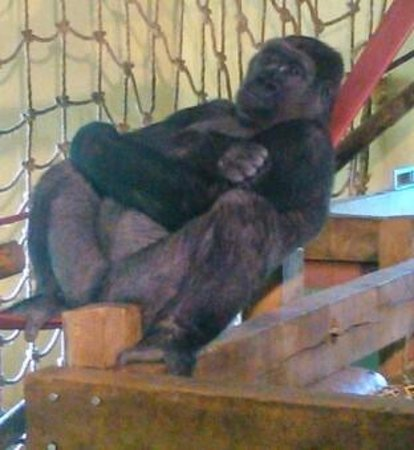 Paignton Zoo Environmental Park: In the Gorilla house.