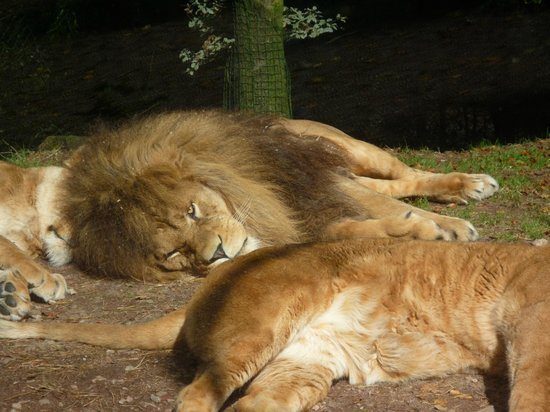 Zoo de Jurques - Lions
