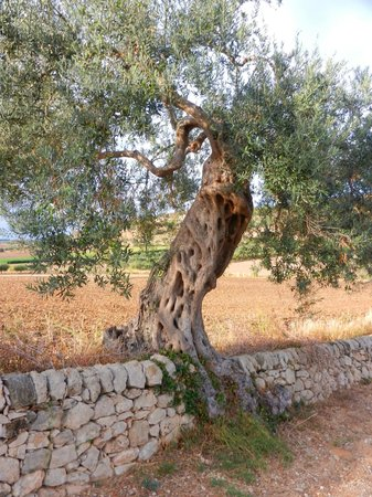Locanda Gulfi: An olive tree on the road behind the hotel