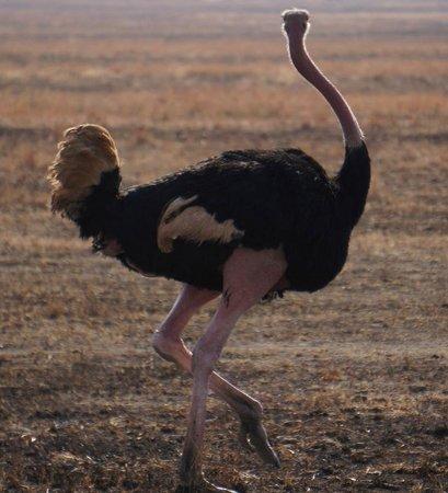 Oliver's Camp, Asilia Africa: ostrich