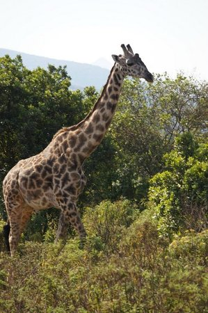 Twiga Lodge: Giraffe in Arusha National Park