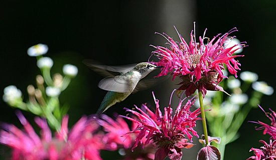 The Fern Lodge: One of our resident hummingbirds performing the daily ritual