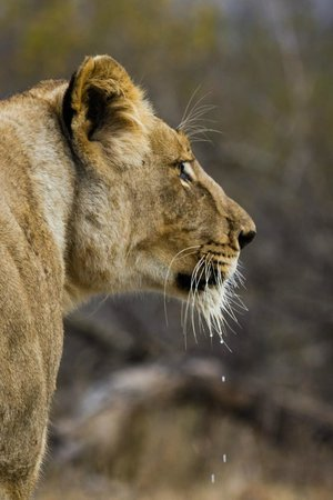 Askari Wilderness Conservation Programme: Intombe, the young lioness of the local pride