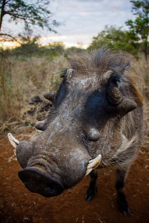 Askari Wilderness Conservation Programme: Kevin the warthog that was raised at Askari