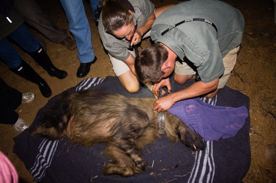 Askari Wilderness Conservation Programme: Removing the damaged collar from Jaggedy the brown hyena