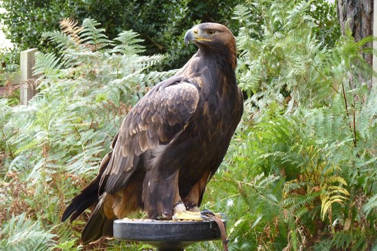 Forest Falconry: One of the Eagles