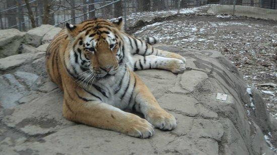 Seneca Park Zoo: Tiger
