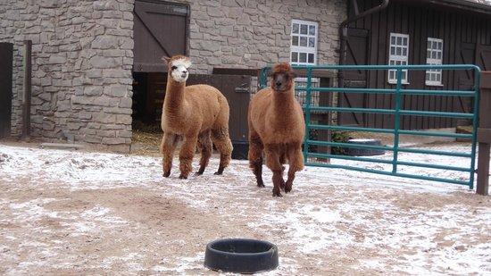 Seneca Park Zoo: Llamas