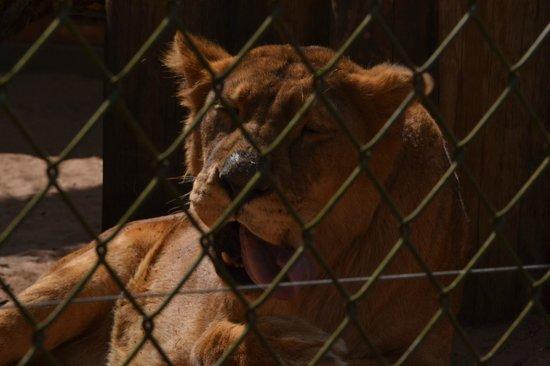 Parque Zoologico Municipal de Bauru: Leoa