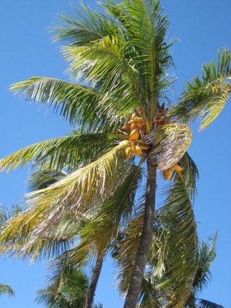Ebb Tide Oceanfront Resort in Pompano Beach, Florida: Cocoanut Trees on Property