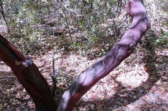 Bothe-Napa State Park: Manzanita trunk