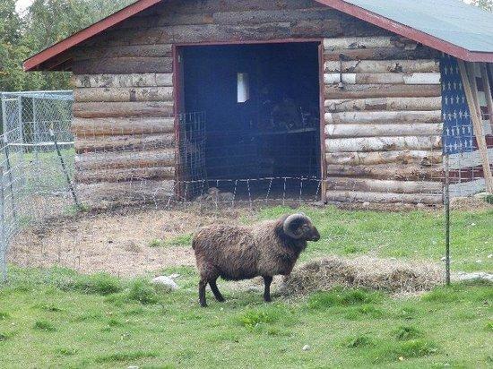 Alaska's Harvest B&B : Billy the Ram
