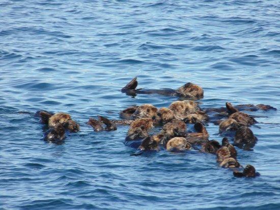 Allen Marine Tours : Sea otters-so fun to watch!