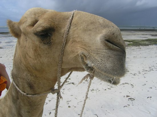 Mombasa Backpackers: Camel rides around the corner