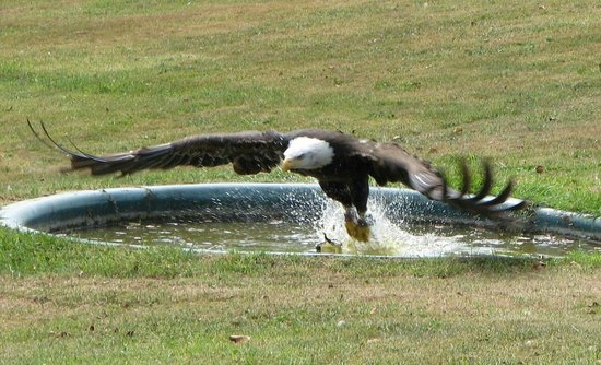 Wroxall, UK: Bald eagle fishing.