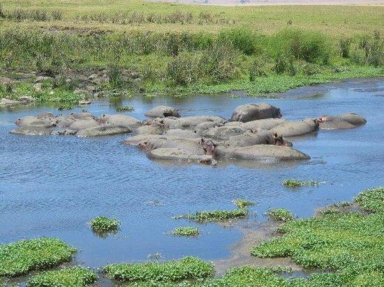 Ngorongoro Crater: hippos