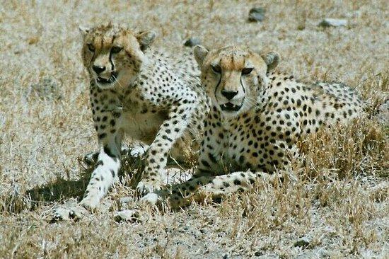 Ngorongoro Crater: cheetah cubs