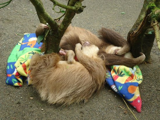 Gecko Trail Adventures Animal Rescue Centre, Chocolate Lady and Waterfall Tour : sloth cuddle pile!