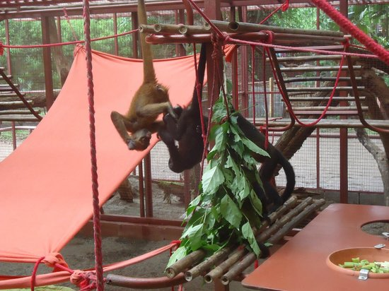 Gecko Trail Adventures Animal Rescue Centre, Chocolate Lady and Waterfall Tour : monkeys at the animal center!