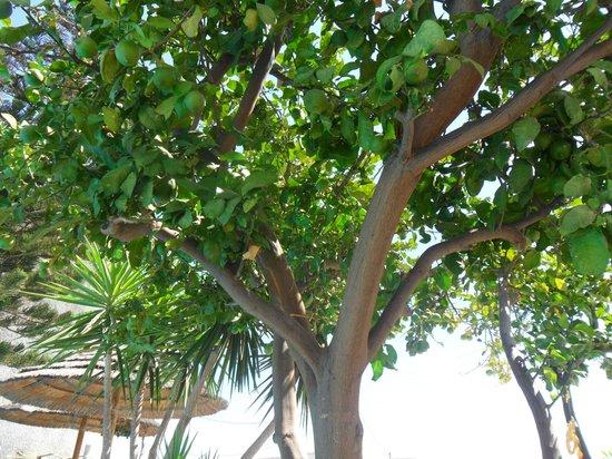 Aquarius Apartments: Lime trees to sunbathe under next to the pool