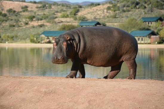 Buffelsdrift Game Lodge: Male hippo wanting to steal the elephant's dinner