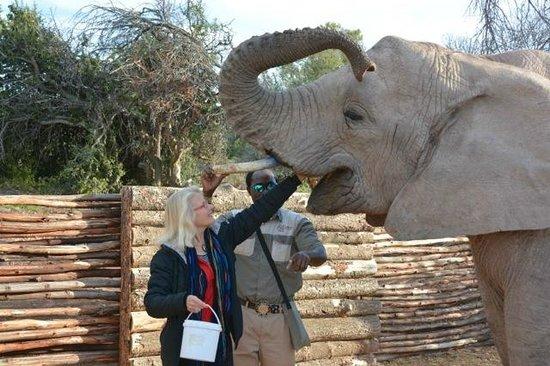 Buffelsdrift Game Lodge: Feeding the elephants
