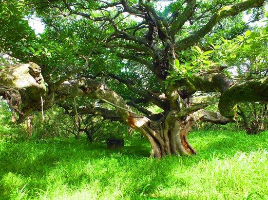 Santa Rosa National Park: Tree