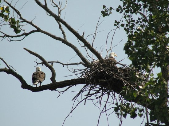 Horicon Marsh Boat Tours- Day Tours : Bald eagles