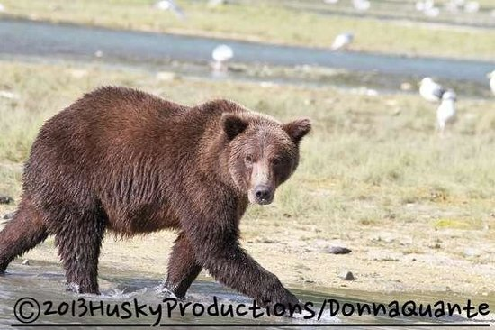 Sea Hawk Air Private Seaplane Charters: Coastal Brown bear we saw in Geographic Bay
