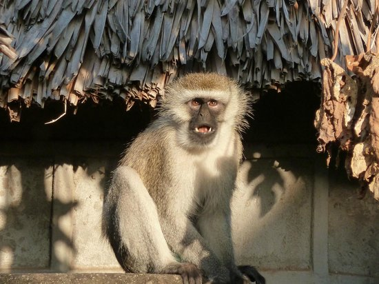 Lake Duluti Serena Hotel : Vervet Monkey outside Hut /Room