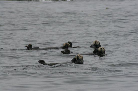 Walters Cove Resort: Sea Otters are everywhere in Kyuquot!