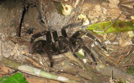 Inkaterra Reserva Amazonica: Chicken Tarantular