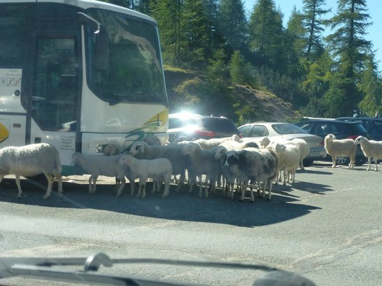 Soca Valley: Even the sheep queue up for the Soca experience!