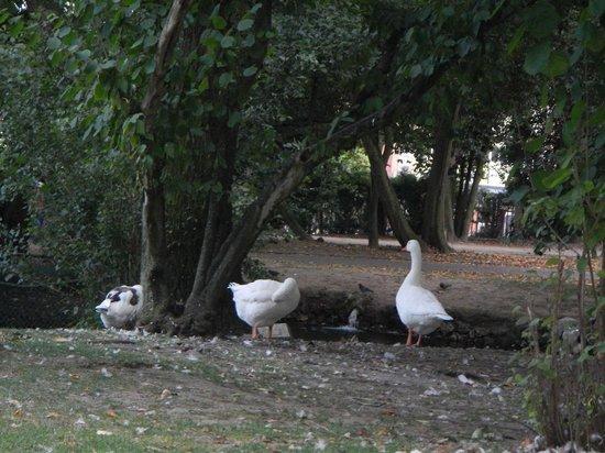 Parque de Ferrera: ocas