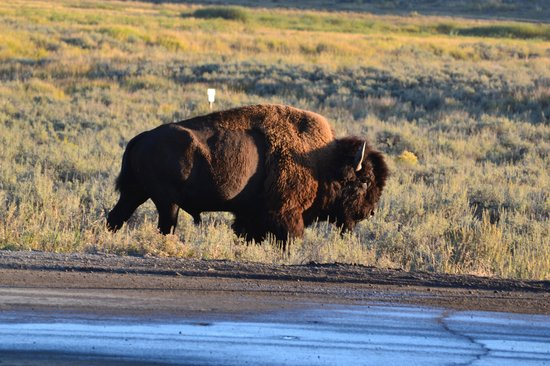 Historic Yellow Bus Tour: Bison