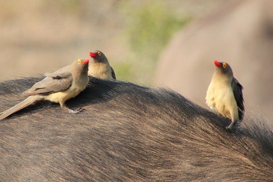 Thanda Safari Lodge: Oxpeckers having a chat over a buffalo