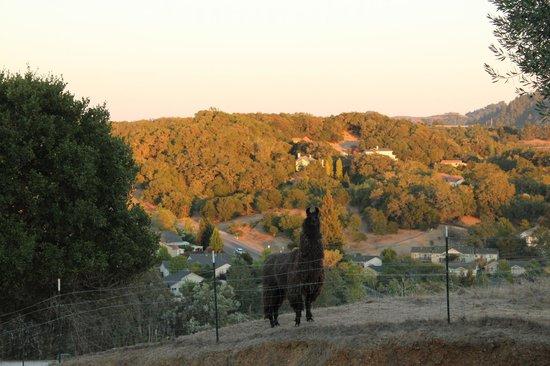 Bella Villa Messina: Lamas