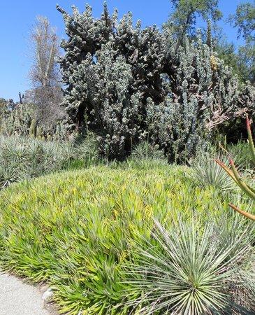 The Huntington Desert Garden: massive clusters of desert vegetation