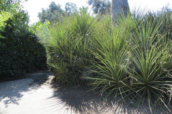 The Huntington Desert Garden: related to pineapples
