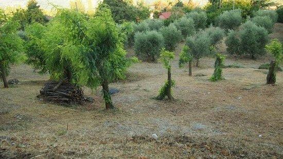 Agriturismo Poggio al Sole: More olive trees...
