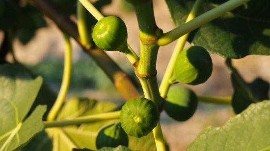Agriturismo Poggio al Sole: Giovanni's Figs
