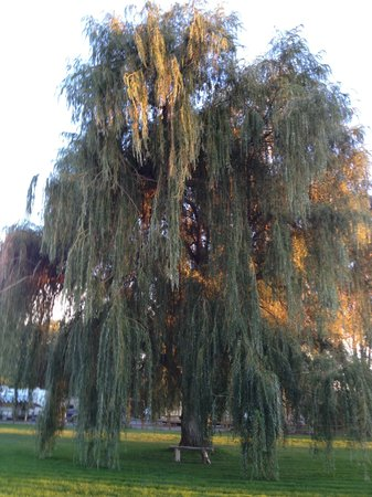 Red Arrow Inn & Suites: Nice willow tree and bench right outside my door!