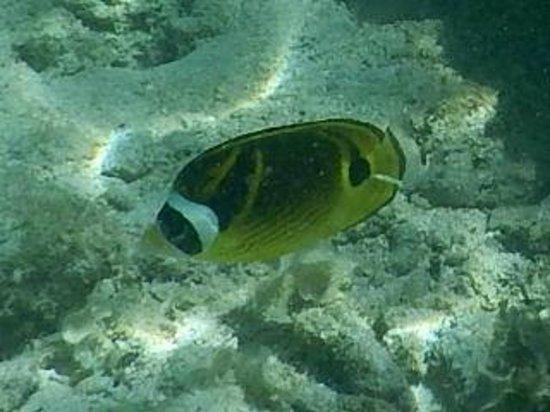 Temae Beach : Lagoon fish