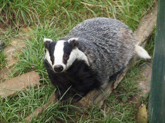 British Wildlife Centre: Badgers