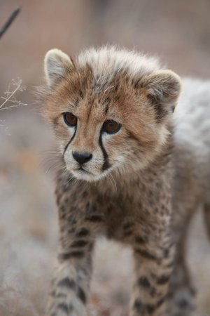 Indlovu River Lodge: Curious Cheetah cubs - too cute!