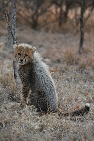 Indlovu River Lodge : An amazing experience to be on foot with wild cheetahs