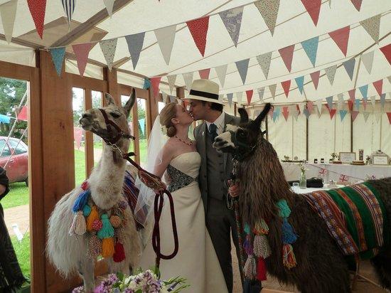 Nidderdale Llamas: Llamas make a wedding!