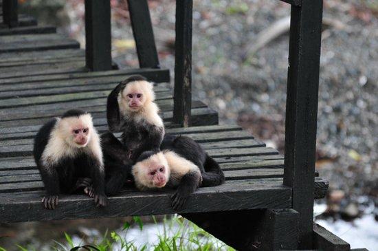 Gorgona Natural Park : monkeys