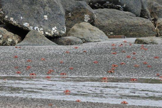 Gorgona Natural Park : crabs